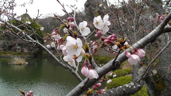 薬師池公園の桜
