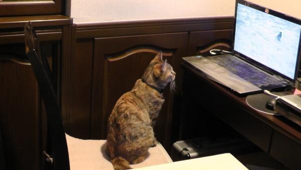 猫用動画を観るネコ