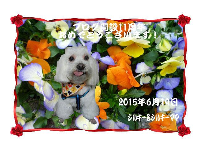 ブログ開設11周年_シルちゃんママさん