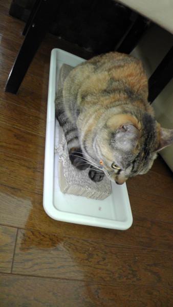爪とぎの上で落ち着く猫