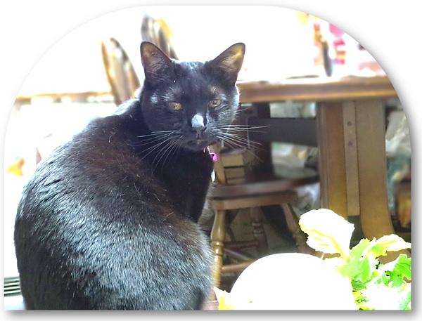 黒猫チャンプとかぶ2.jpg