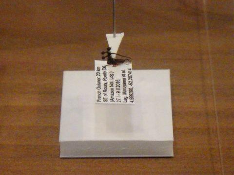 大阪市立自然史博物館2019年7月下旬24 マルヨツコブツノゼミの標本