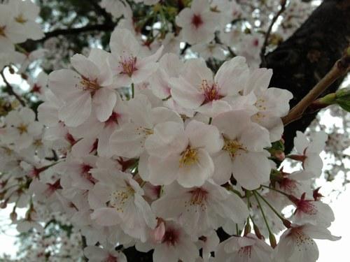 1桜4月3日5004.jpg
