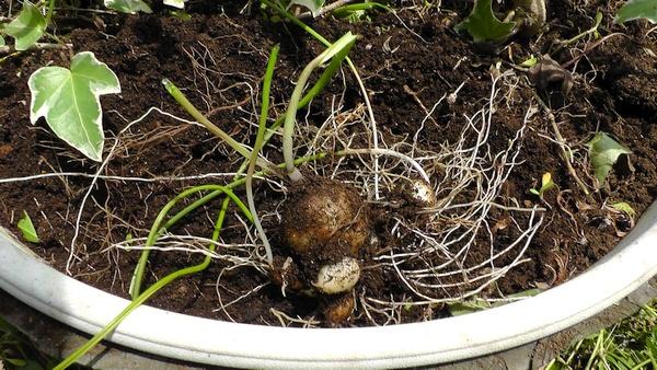 ムスカリ(グレープヒヤシンス)の球根
