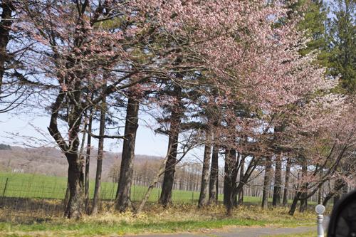11桜.jpg