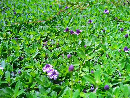 ヒメイワダレソウの開花が始まりました1