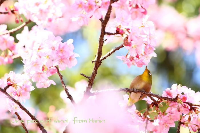 満開の河津桜1