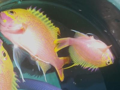 沖縄深海魚採集2013年7月下旬6 バラハナダイ(Odontanthias katayamai)