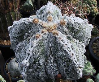 複隆ランポー | ガマンマの ニク・サボ栽培 - 楽天ブログ