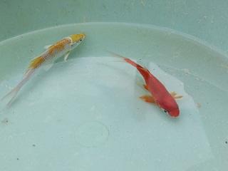 市ヶ谷金魚