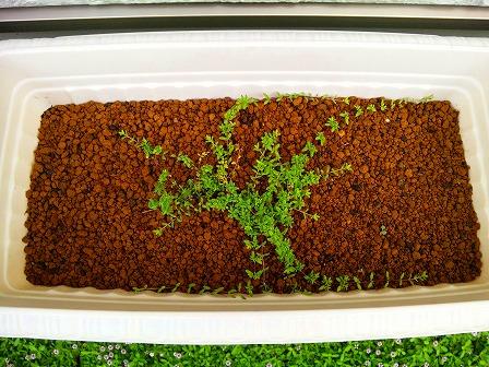 ロンギカウリスの鉢植え定点観測1