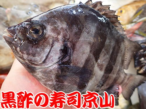 石鯛 寿司 出前 未利用魚