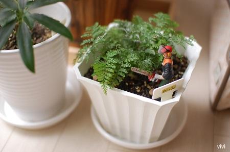 カポック 100均 しのぶ ダイソー 観葉植物 大きく 成長 100円均一