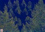 冬枯れのカラマツ林.jpg
