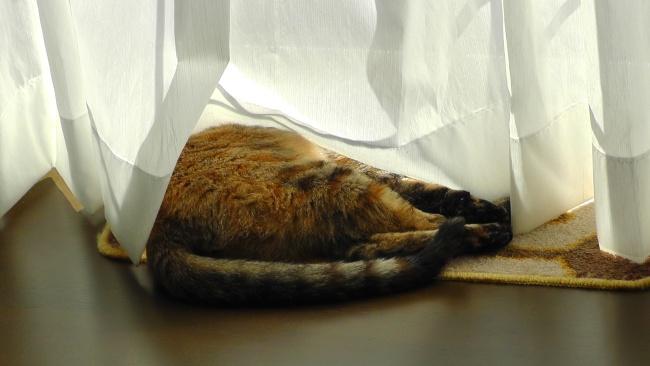カーテンを汚す猫