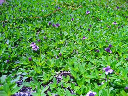ヒメイワダレソウの開花が始まりました2
