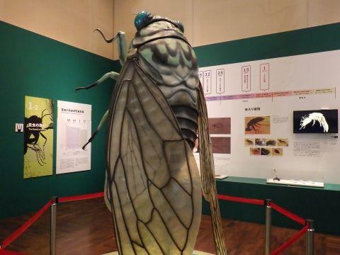 大阪市立自然史博物館2019年7月下旬3 ミンミンゼミの約45倍模型