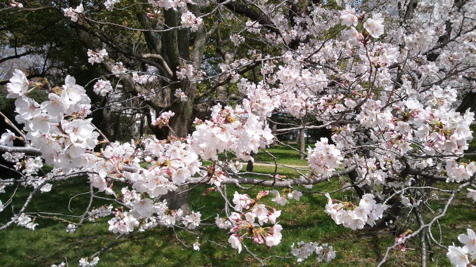 0330 家の前の桜