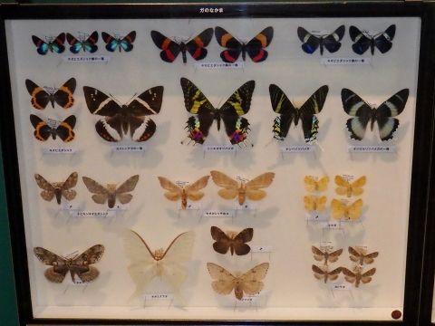 大阪市立自然史博物館2019年7月下旬14 ガのなかまの標本
