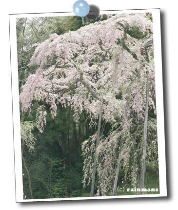 地蔵桜.jpg