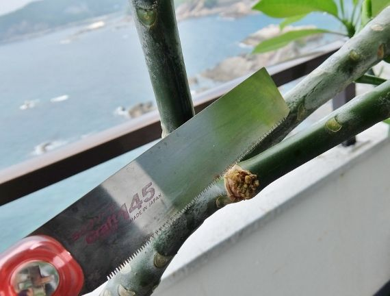 プルメリア ベランダ 鉢 育成 ハワイ 剪定