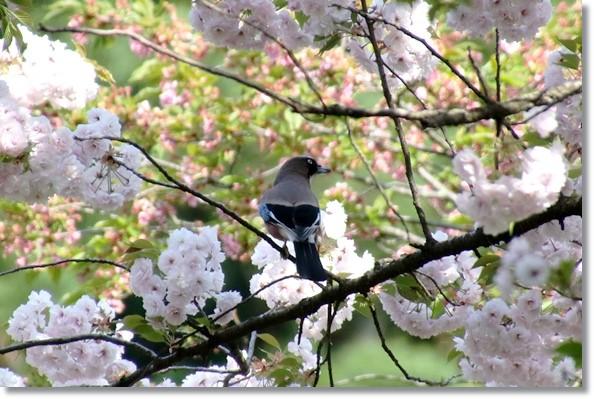 樹木公園-34 カケス-1 16.4.20