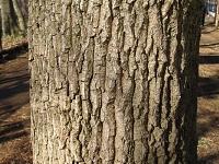 クヌギ樹皮