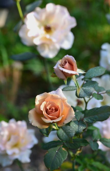 好きなバラ.jpg