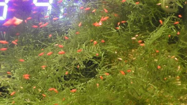 水草から出てくるサンセットプラティの稚魚