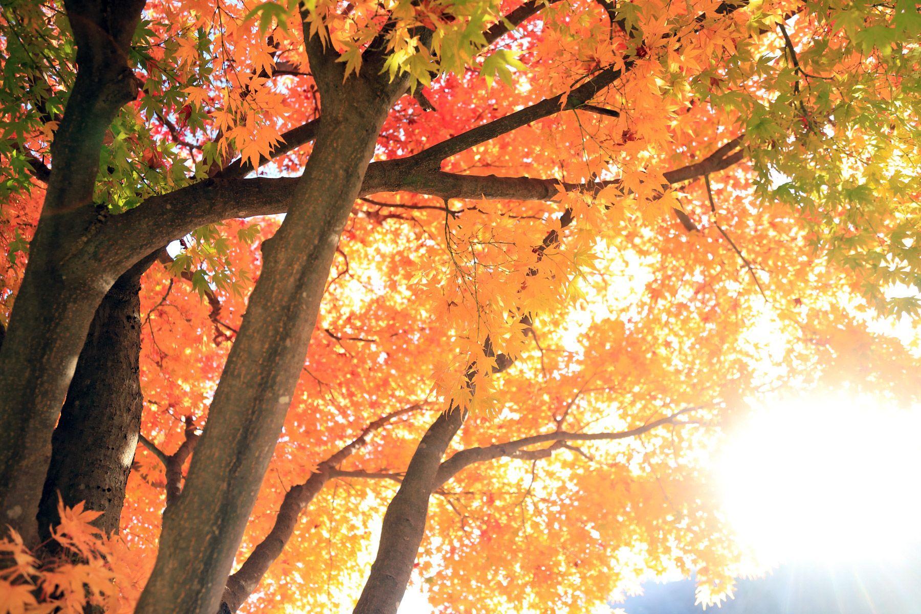 紅葉樹 陽光浴びて 壁紙自然派 楽天ブログ