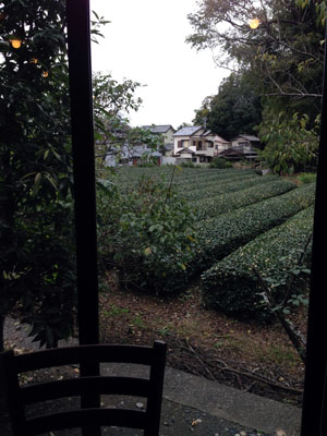 茶畑が見えます