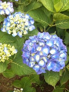 土門拳記念館 紫陽花 2012 11
