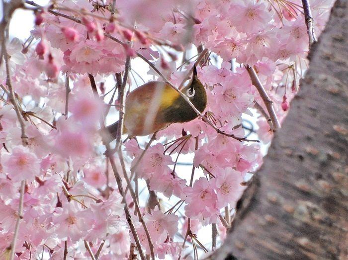 八重枝垂れ桜とメジロ1