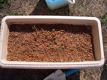 ロンギカウリスの苗も順調に大きくなっています1