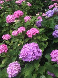 土門拳記念館 紫陽花 2012 2