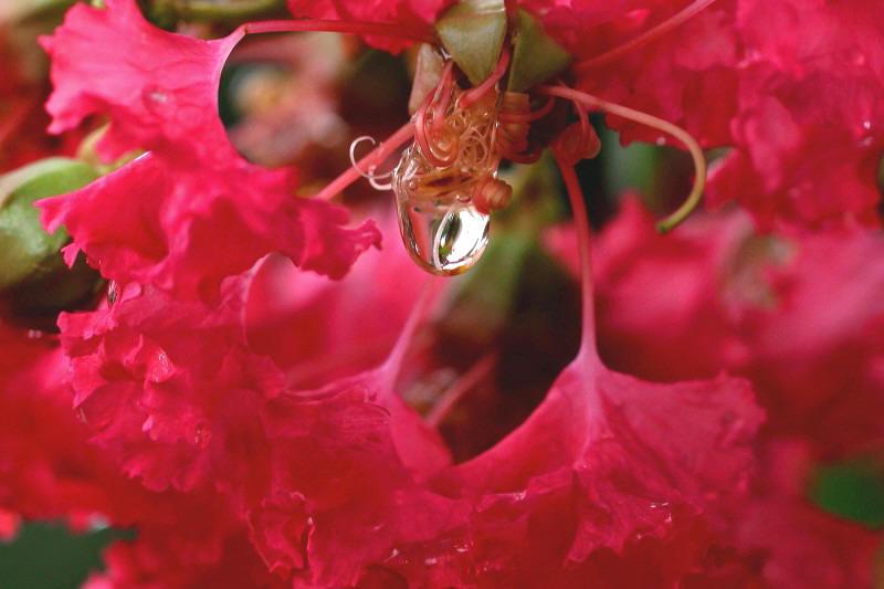 サルスベリの水滴.jpg