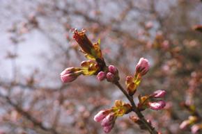 4桜アップ1.jpg