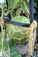 小玉西瓜1
