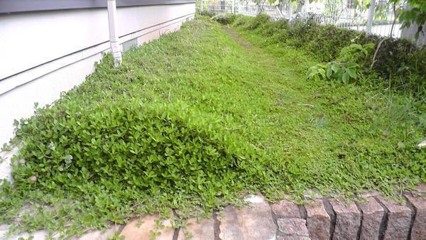 南側の庭 イワダレソウ 駐輪所