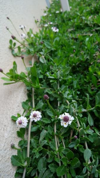 イワダレソウの咲き始め