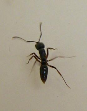 オオハリアリ(大針蟻)