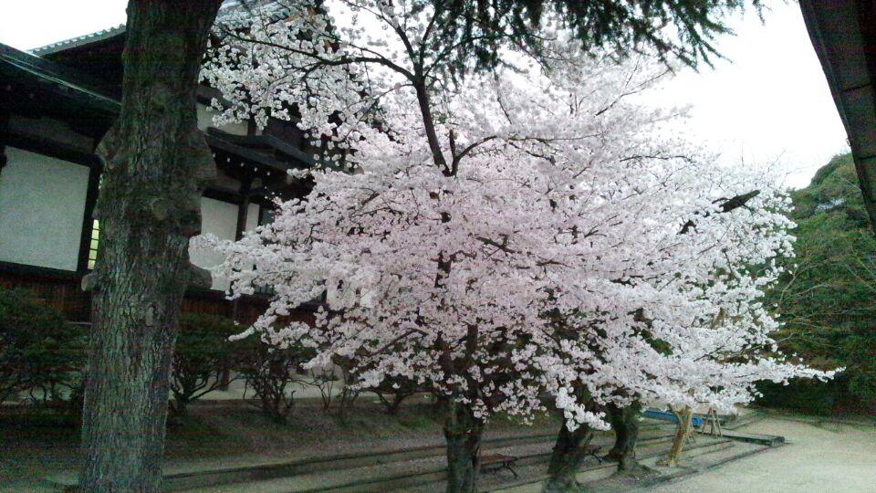 0402 桜2