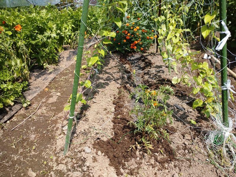 栽培 つくね 芋
