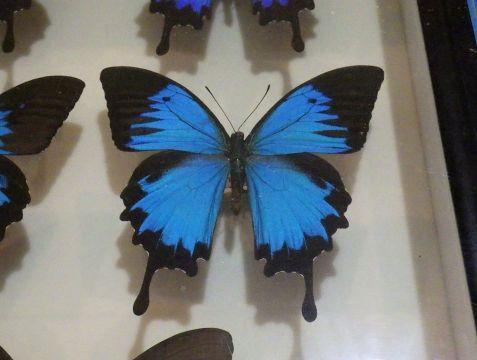 大阪市立自然史博物館2019年7月下旬12 オオルリアゲハの標本