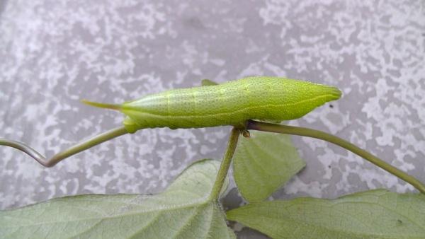 ヘクソカズラ(屁糞葛)にホシホウジャク(星蜂雀)の幼虫