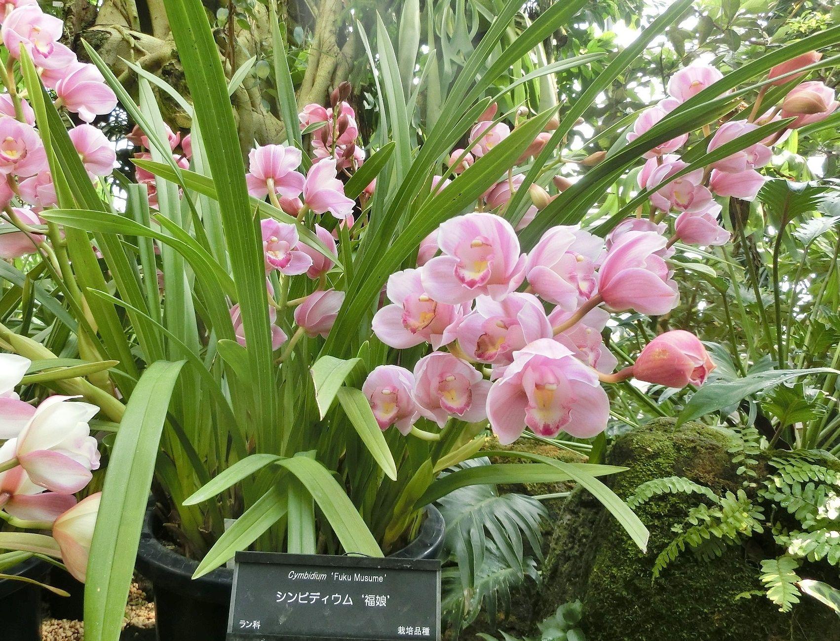 咲くやこの花館で見た シンビデ...