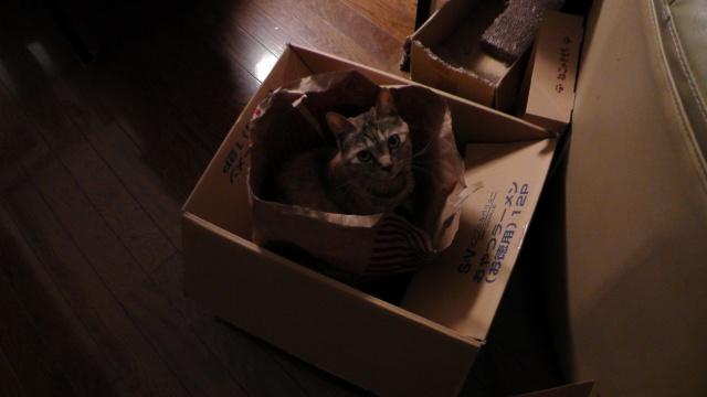 紙袋でゴソゴソする猫