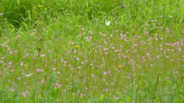 花畑 モンシロチョウ 草原