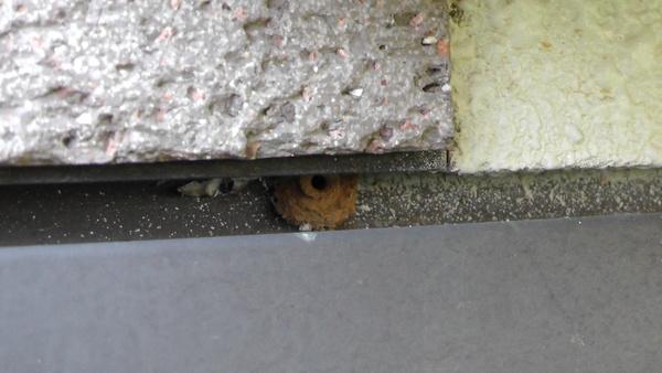 トックリバチの巣 徳利蜂の巣