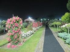 night rose 11.jpg